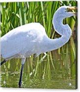 Great White Egret In Horicon Marsh Acrylic Print