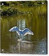 Great White Egret In Sunlight Acrylic Print