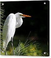 Great White Egret In The Tree Acrylic Print