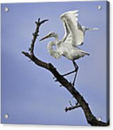 Great White Egret In Tree Acrylic Print