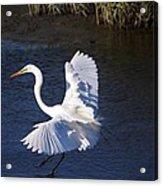 Great White Egret Landing Acrylic Print