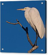 Great White Egret On A Snag Acrylic Print