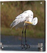 Great White Egret Preening Acrylic Print