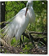 Great White Egret Primping Acrylic Print