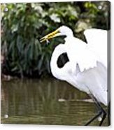 Great White Egret Show Off Acrylic Print
