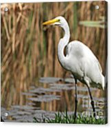 Great White Egret Taking A Stroll Acrylic Print