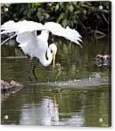 Great White Egret Wingspan And Turtles Acrylic Print