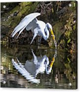 Great White Heron Fishing Acrylic Print by Charles Warren