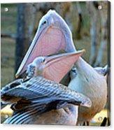 Great White Pelicans Acrylic Print