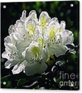 Great White Rhododendron Acrylic Print