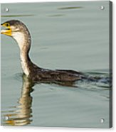 Greater Cormorant Eating A Fish Acrylic Print