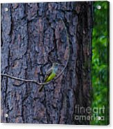 Greater Crested Flycatcher Acrylic Print
