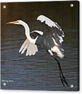 Greater Egret Landing Acrylic Print