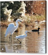 Greater Egret Lesser Egret And Coot Acrylic Print