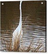 Greater Egret Posturing Acrylic Print