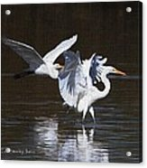 Greater Egrets Meet Up  Acrylic Print