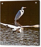 Greater Egrets Meeting Up Acrylic Print