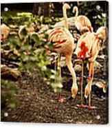 Greater Flamingo Acrylic Print