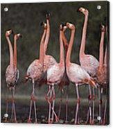 Greater Flamingo Group Courtship Dance Acrylic Print