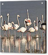 Greater Flamingos At Laguna De La Fuente De Piedra Acrylic Print