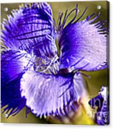 Greater Fringed Gentian Acrylic Print