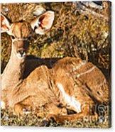 Greater Kudu Calf Acrylic Print