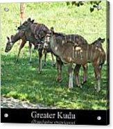 Greater Kudu Acrylic Print