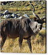 Greater Kudu Grazing Acrylic Print