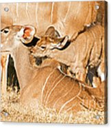 Greater Kudu Mother And Baby Acrylic Print
