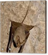 Greater Mouse-tailed Bat Rhinopoma Microphyllum Acrylic Print