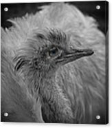 Greater Rhea Acrylic Print