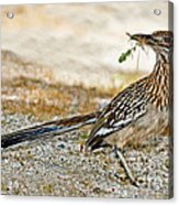 Greater Roadrunner With Nest Material Acrylic Print