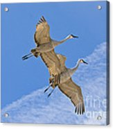 Greater Sandhill Cranes In Flight Acrylic Print