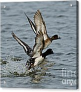 Greater Scaup Pair Acrylic Print