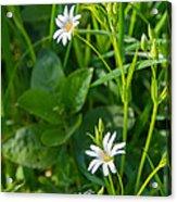 Greater Stitchwort Stellaria Acrylic Print