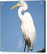 Greater White Egret Acrylic Print
