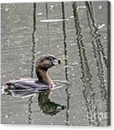 Grebe In The Reeds Acrylic Print