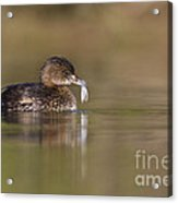Grebe With Feather Acrylic Print
