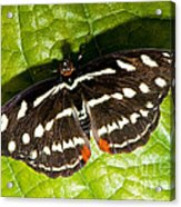 Grecian Shoemaker Butterfly Acrylic Print