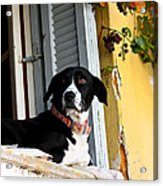 Greek Dog Acrylic Print