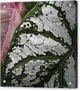 Green And Pink Caladiums Acrylic Print