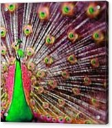 Green And Pink Peacock Acrylic Print by Diana Shively