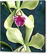 Green And Purple Cattleya Orchids Acrylic Print
