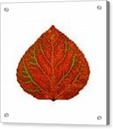Green And Red Aspen Leaf 3 Acrylic Print