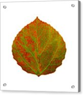Green And Red Aspen Leaf 5 Acrylic Print