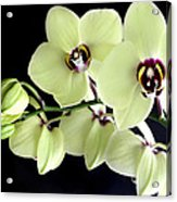 Green And Wine Hybrid Phalaenopsis Orchid Acrylic Print