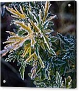 Green And Yellow Frost Acrylic Print