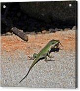Green Anole Lizard Vs Wolf Spider  Acrylic Print