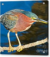 Green-backed Heron Acrylic Print