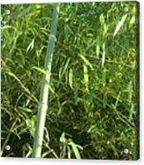 Green Bamboo Acrylic Print